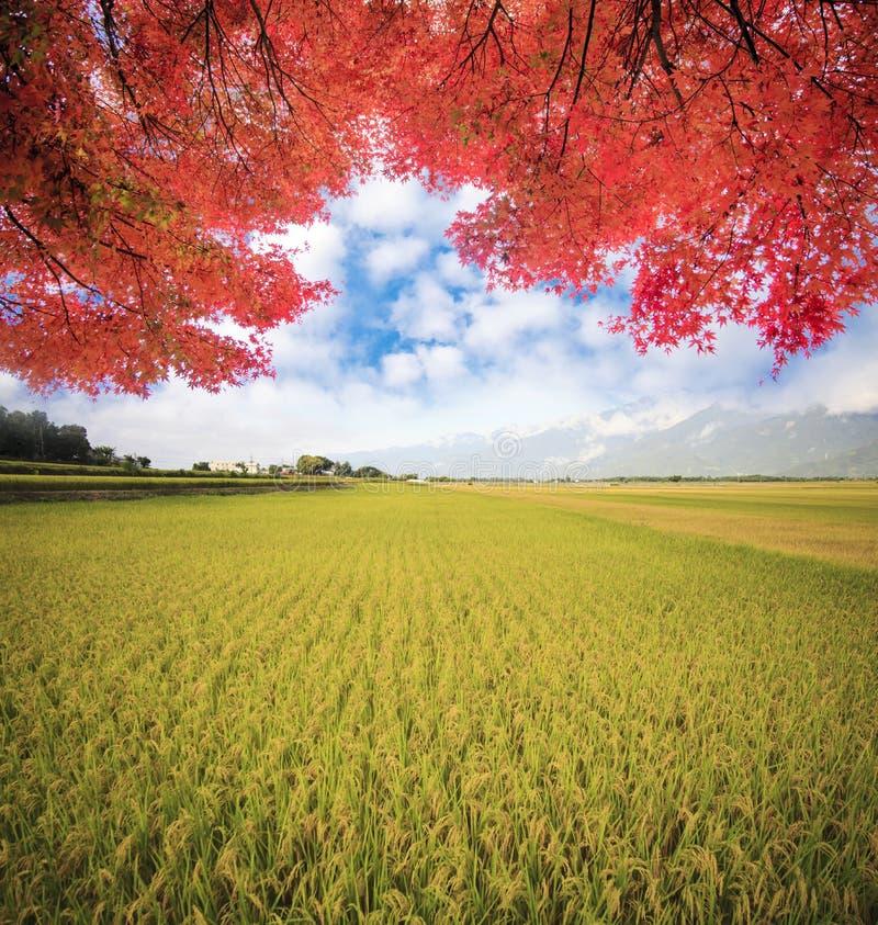 Albero solo del paesaggio naturale nel giacimento del risone immagine stock