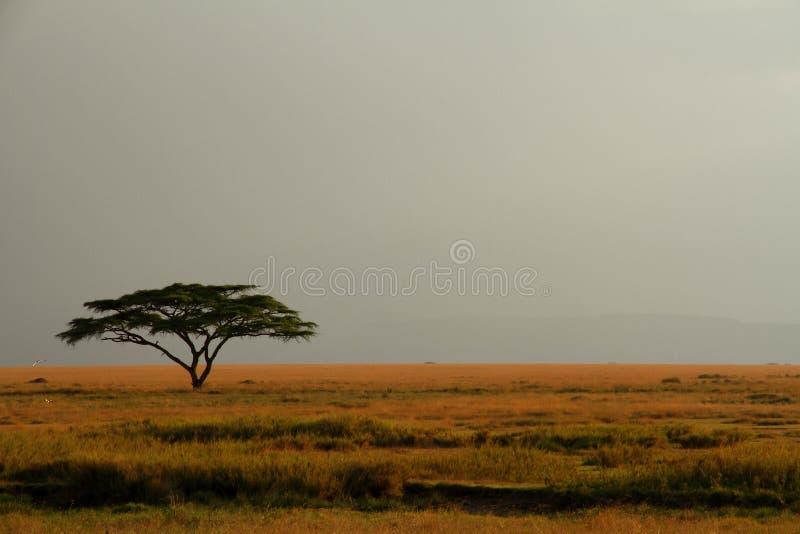 Albero solo dell'acacia contro il cielo nebbioso espansivo immagini stock libere da diritti
