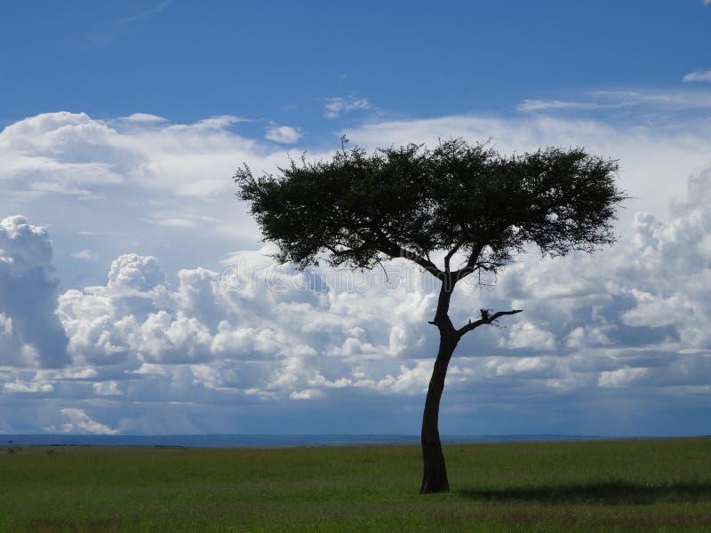 Albero solo Masai Mara fotografia stock libera da diritti