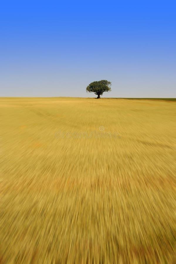 Albero solo nel campo di cereale immagini stock libere da diritti