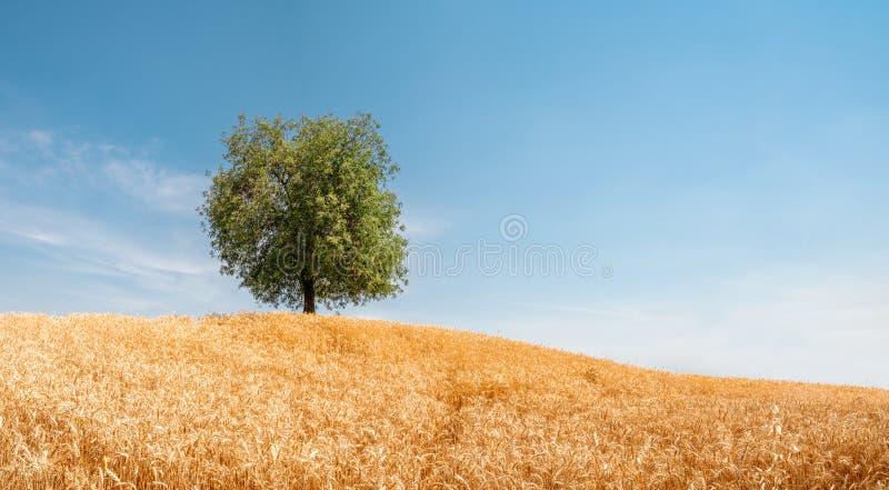 Albero solo nel campo di grano dorato Paesaggio di estate con il cielo nuvoloso fotografie stock