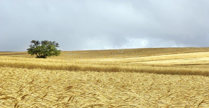 Albero solo nel giacimento di grano giallo immagine stock