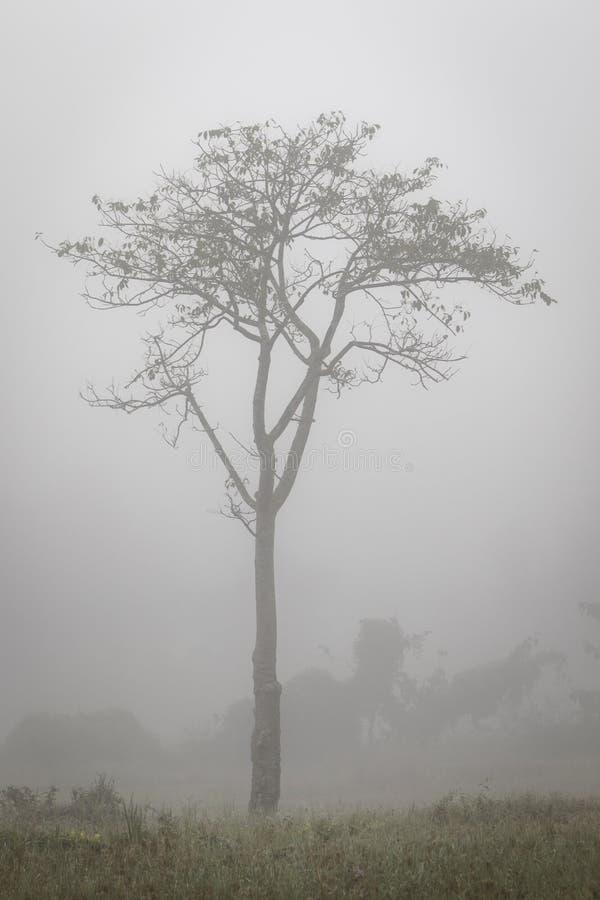 Albero solo nella foschia in Tailandia del Nord fotografia stock