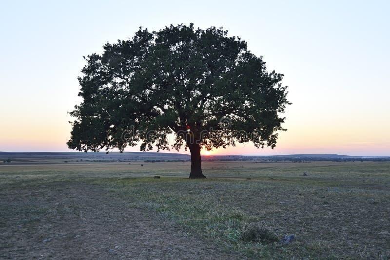 Albero solo sul campo all'alba, Macin, Romania fotografie stock
