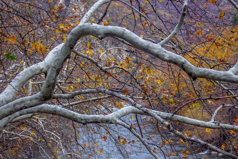 Albero sopra il fiume - Autumn Landscape immagini stock