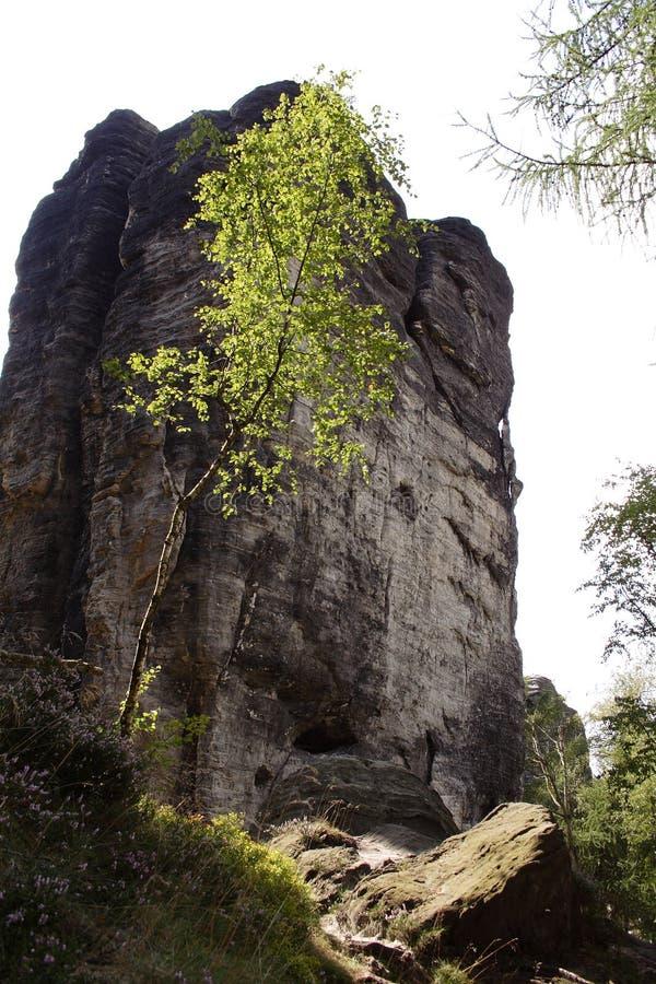 Albero sottile in parete anteriore della roccia immagini stock libere da diritti