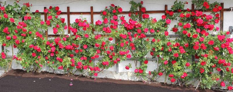Albero a spalliera rosa dell'escursionista con le rose rosse immagini stock