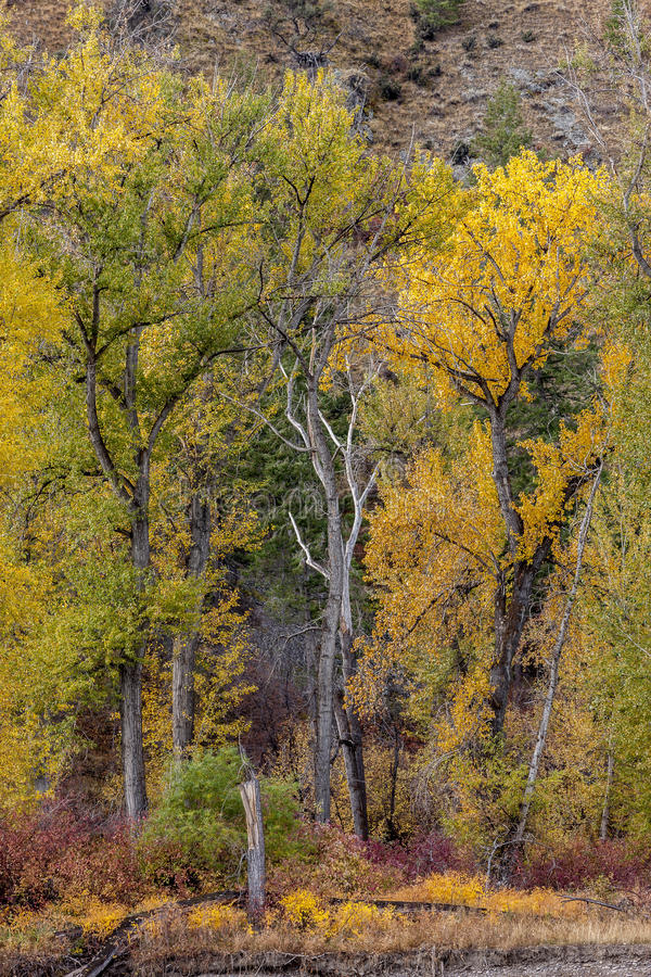 Albero sterile fra gli alberi leaved gialli fotografie stock libere da diritti