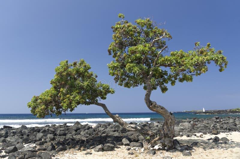 Albero su una spiaggia piena di sole, grande isola, Hawai fotografia stock libera da diritti