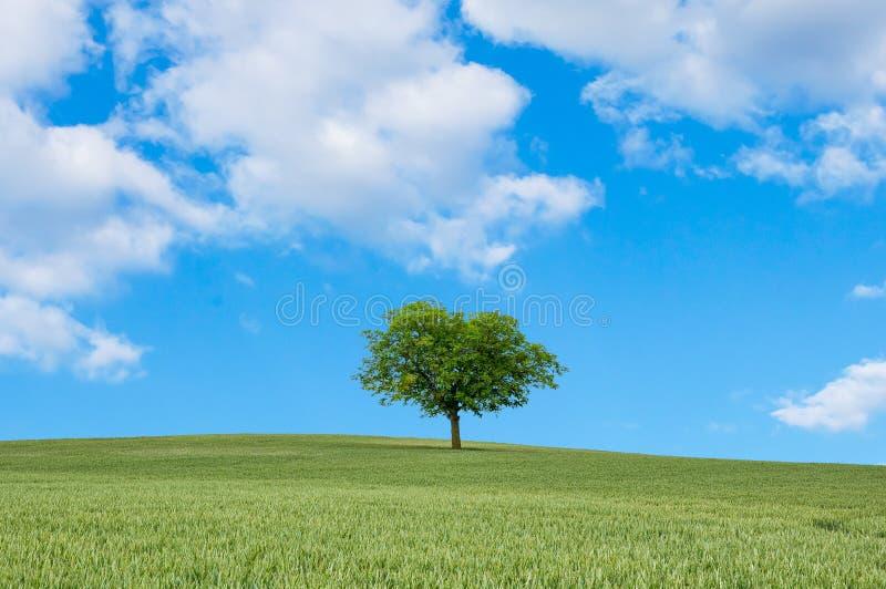 Albero sul giacimento del miglio e cielo blu nella stagione estiva fotografie stock libere da diritti