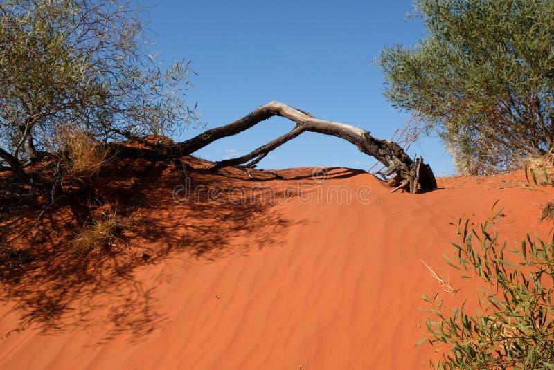 Albero sulla duna di sabbia rossa fotografia stock libera da diritti