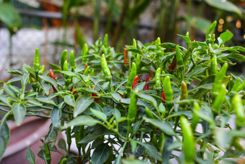 Albero tailandese della paprica fotografia stock