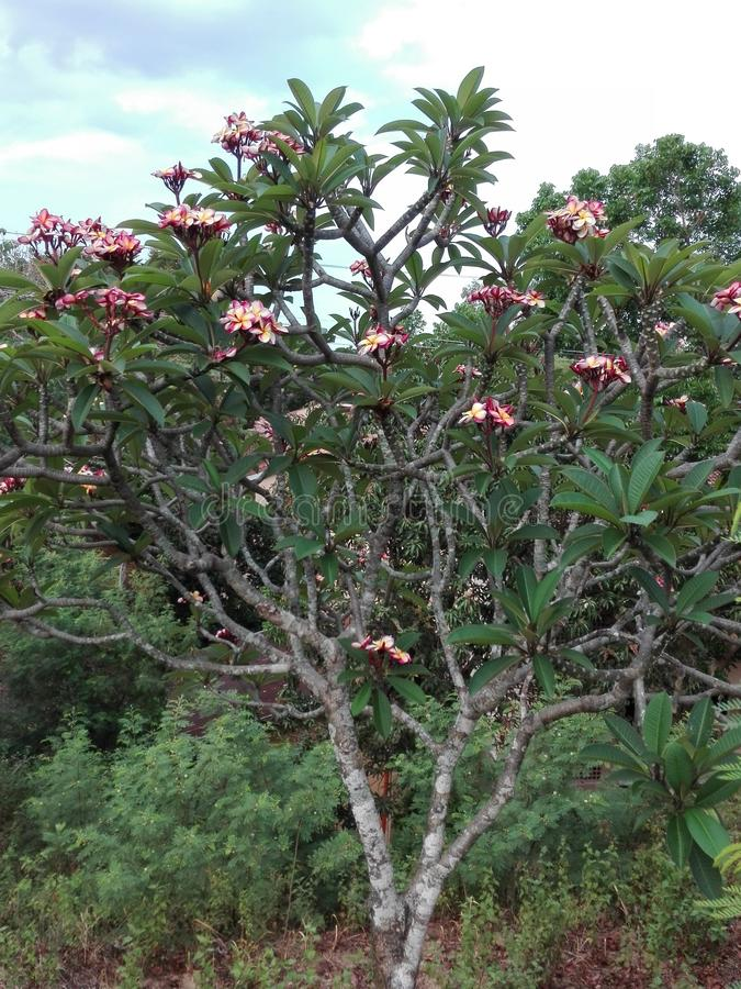 Albero tropicale nelle Filippine fotografia stock