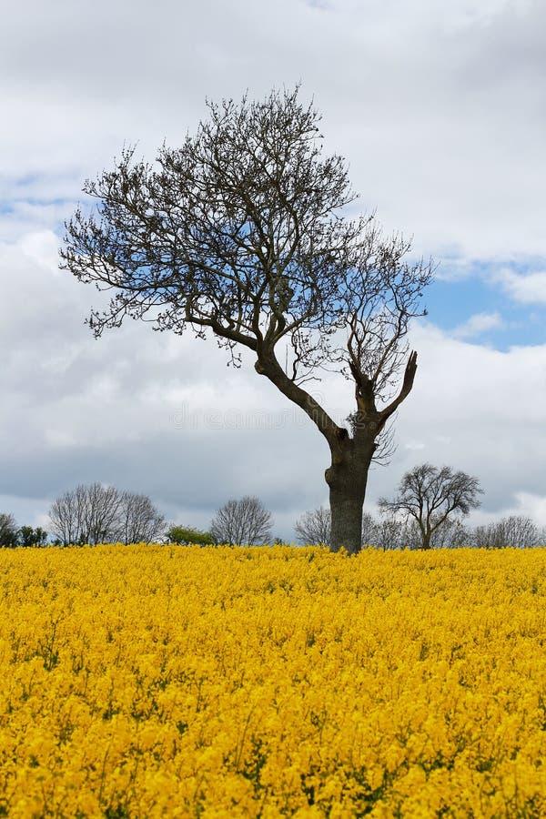 Albero unico nel giacimento giallo del seme di ravizzone fotografia stock