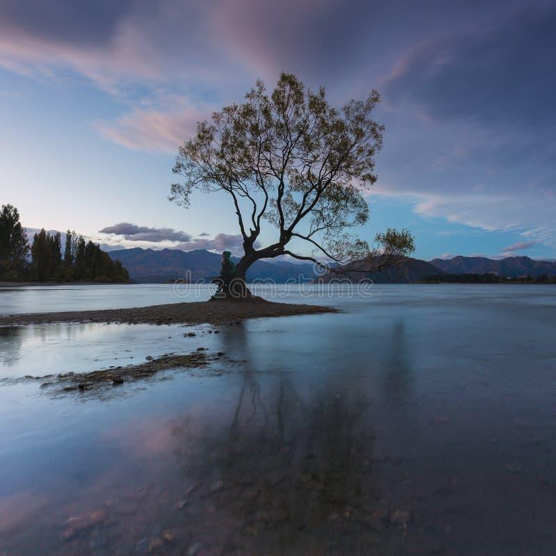 Albero variopinto dentro il lago Wanaka, l'isola del sud della Nuova Zelanda, la Nuova Zelanda e la destinazione popolare di viag immagine stock libera da diritti