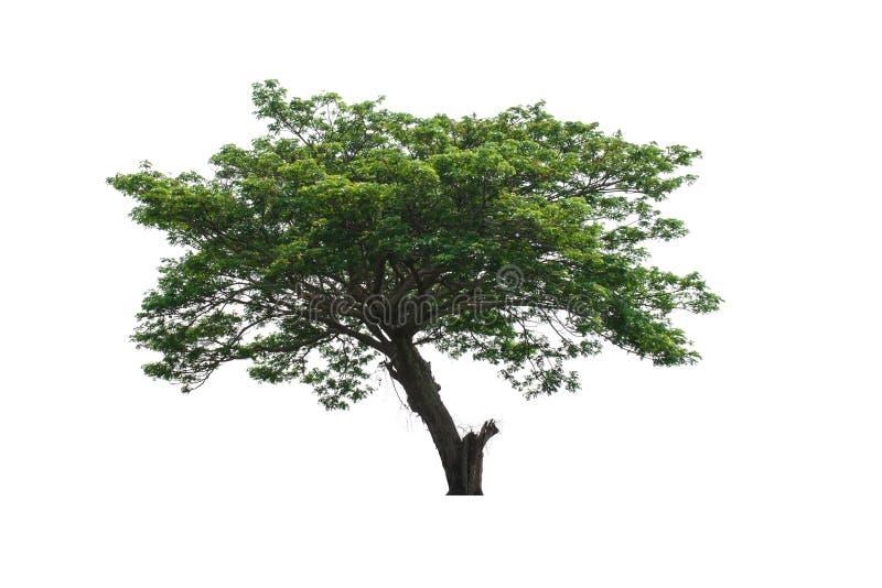 Download Albero verde immagine stock. Immagine di pianta, sviluppo - 55361875