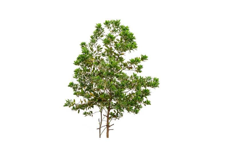 Albero verde, albero di eucalyptus isolato su fondo bianco fotografia stock libera da diritti