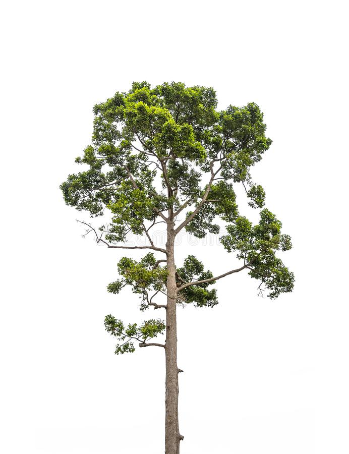 Albero verde alto isolato su fondo bianco fotografia stock libera da diritti
