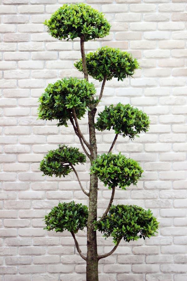 Albero verde dei bonsai del cespuglio fotografie stock