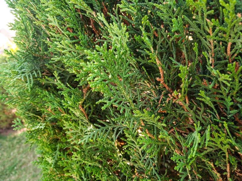 Albero verde in giardino, foglia verde, albero di Natale, pianta, pianta verde, giardino, natura di amore, carta da parati della  fotografia stock libera da diritti