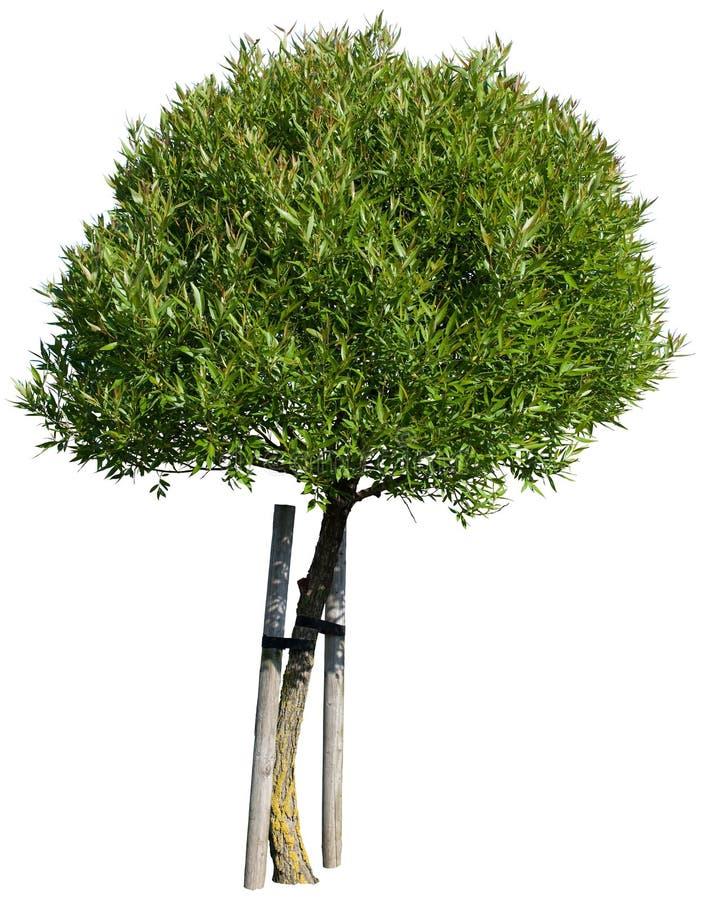 Albero verde isolato su bianco immagine stock