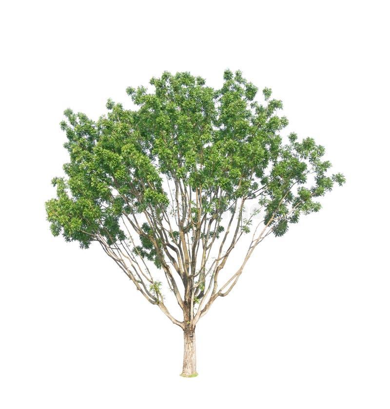 Albero verde isolato, vasto mogano della foglia, conosciuto come mogano falso, l'Honduras, grande foglia, una pianta sempreverde  fotografia stock