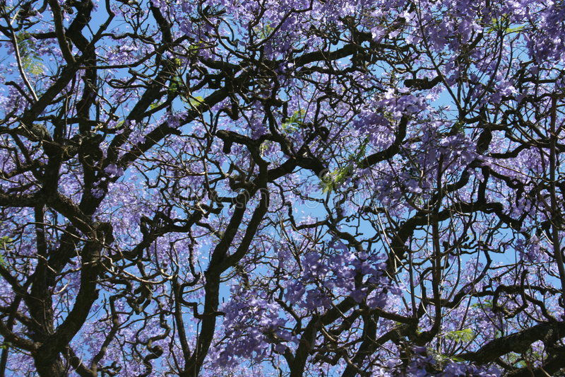 Albero viola del Jacaranda fotografia stock
