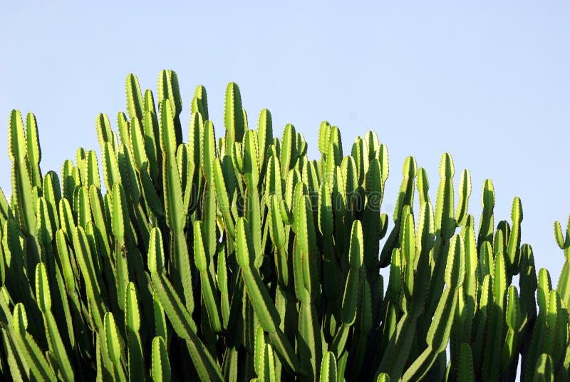 Albero voluminoso del cactus immagine stock libera da diritti