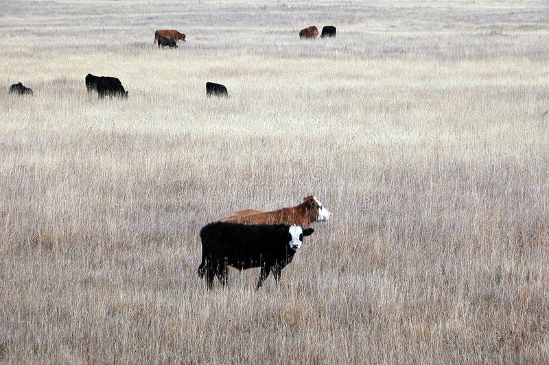 Alberta beef cattle. Picture of beef calves in Alberta,Canada royalty free stock images