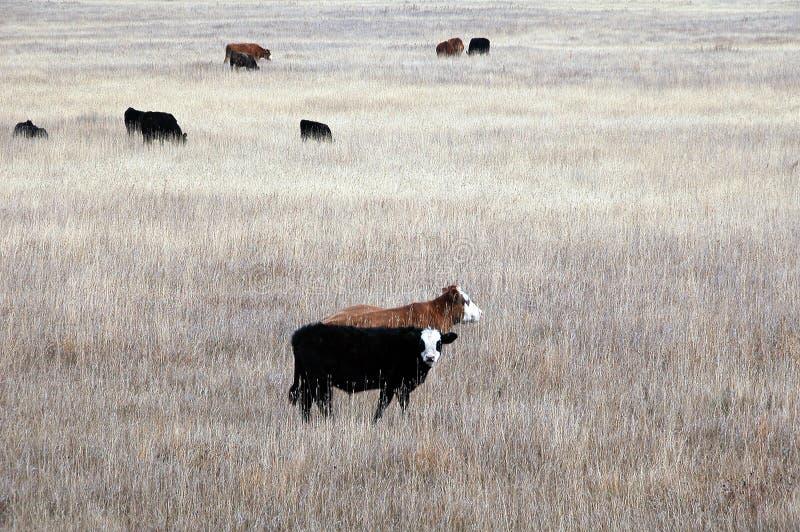 Alberta nötköttnötkreatur royaltyfria bilder