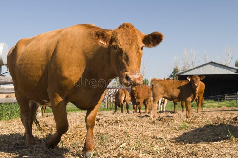 Alberta-Rindfleisch lizenzfreie stockfotos