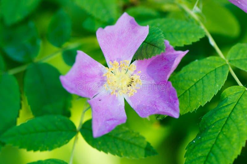 Alberta Wild Rose & x28; Rosa Acicularis & x29; fotografie stock libere da diritti