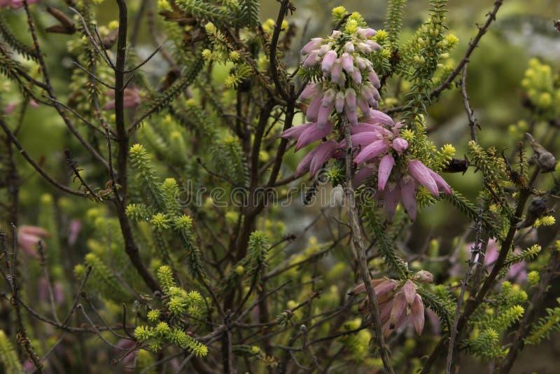 Albertinia heath fynbos flowering Erica Baueri royalty free stock photos
