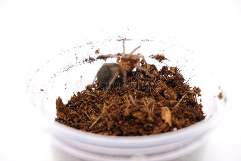 Albiceps di Brachypelma del bambino o tarantola rossa dorata messicana della groppa fotografia stock