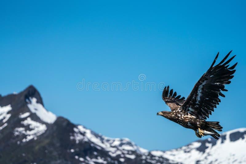 Albicilla atado branco de Eagle Haliaeetus do mar em voo que leva peixes fotos de stock royalty free