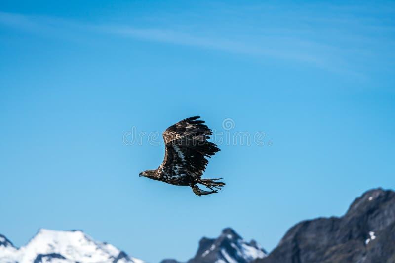 Albicilla atado branco novo de Eagle Haliaeetus do mar em voo que leva peixes fotografia de stock royalty free