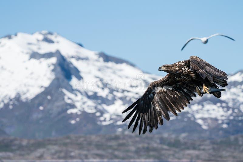 Albicilla atado branco novo de Eagle Haliaeetus do mar em voo que leva peixes fotos de stock royalty free