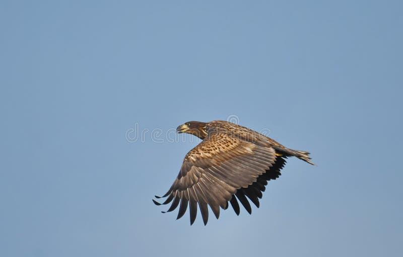 Albicilla coupé la queue blanc de Haliaeetus d'aigle images libres de droits