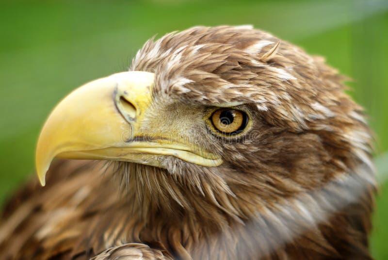 Albicilla de Haliaeetus photos libres de droits