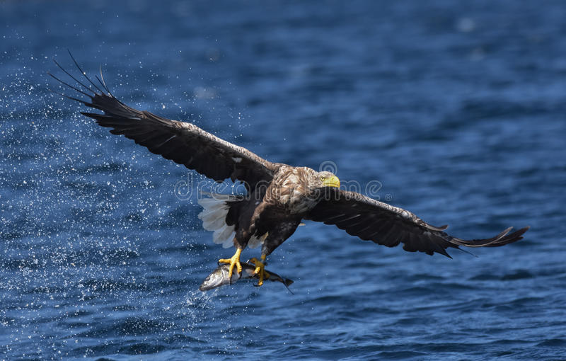 Albicilla di Eagle Haliaeetus del mare munito bianco immagini stock libere da diritti