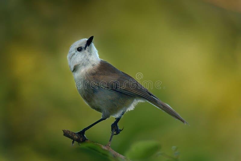 Albicilla di Mohoua - di Whitehead - piccolo uccello di popokatea dalla Nuova Zelanda, dalla testa di bianco e dal corpo grigio immagine stock libera da diritti