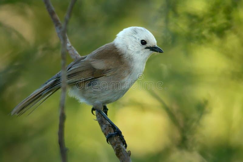 Albicilla di Mohoua - di Whitehead - piccolo uccello di popokatea dalla Nuova Zelanda, dalla testa di bianco e dal corpo grigio immagini stock libere da diritti