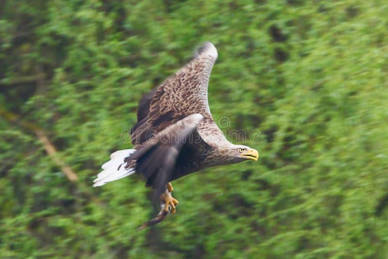 Albicilla munito bianco Eagle Catching Fish di Eagle Haliaeetus immagine stock