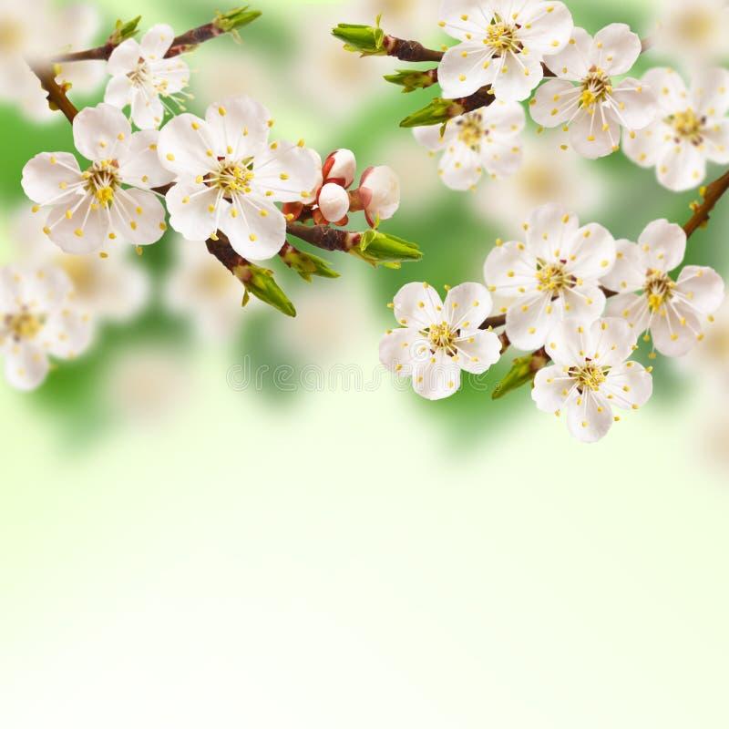 Albicocca della primavera. immagini stock