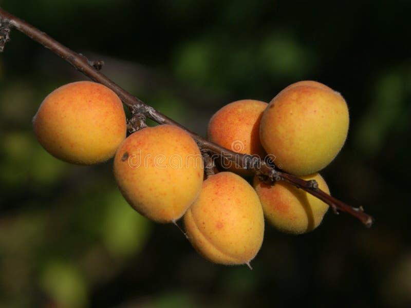 Albicocche siberiane mature sull'albero fotografia stock libera da diritti