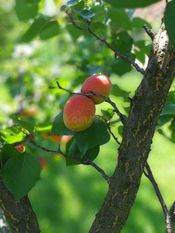 Albicocche sull'albero, prunus fotografia stock libera da diritti