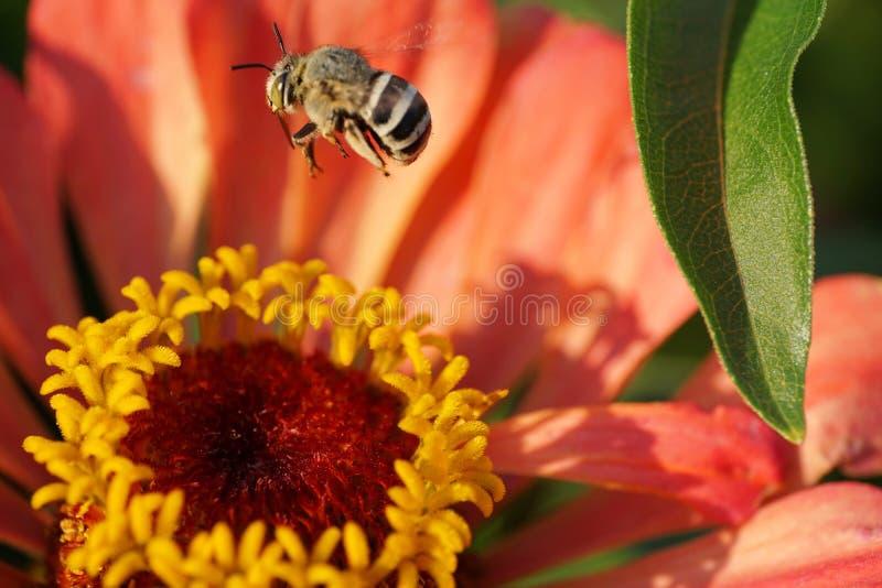 Albigena blanco-gris caucásico mullido o de Amegilla de la abeja del vuelo macro imagenes de archivo
