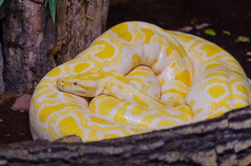 Albina burmese python.python molurus bivittatus in the terrar stock photography