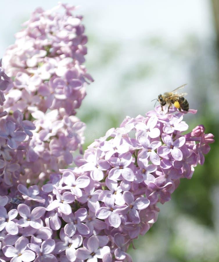 Albina pe floare stock photography