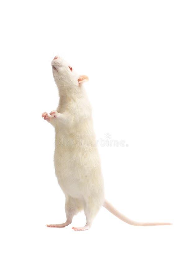 albino αρουραίος στοκ εικόνες